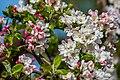Blossoms (26490115794).jpg