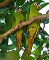 Blue-crowned Parakeets (Aratinga acuticaudata) (28252211421).jpg
