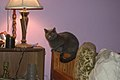 Blue cat on bed in Oklahoma 01.jpg