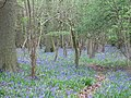 Bluebells in High Wood - geograph.org.uk - 404839.jpg