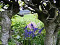 Bluebells in the Hedgerow - geograph.org.uk - 822366.jpg