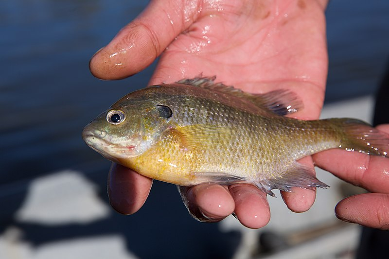 Person's hand holding a Bluegill Sunfish on a background of a body of water.