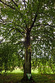 Blutbuche Tierpark 2014-08 Berlin-Frf 1516-1396-120.jpg