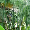 Boat-billed Heron. Cochlearius cochlearius. - Flickr - gailhampshire.jpg