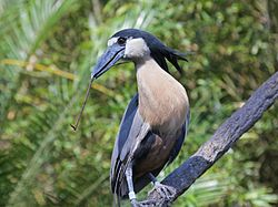 Boat-billed Heron RWD2.jpg