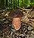 Boletus erythropus 2010 G3.jpg