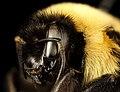 Bombus affinis, queen, racine wi, LW Macior 1965 sideface 2017-01-26-12.54 (32182130840).jpg