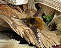 Bombylius major (Large Bee-fly), Elst (Gld), the Netherlands.jpg