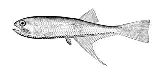 Gonostomatidae - Image: Bonapartia pedaliota