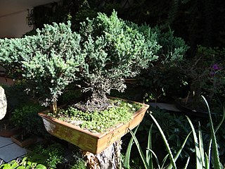 Bonsai-Quito, pic. a1a Photography by David Adam Kess.jpg
