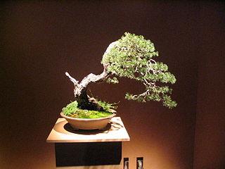 Bonsai IMG 6405.jpg