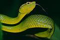 Bornean Keeled Green Pit Viper (Tropidolaemus subannulatus) (14227073513).jpg