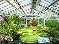 Botanischer Garten BS.Seerosen.jpg