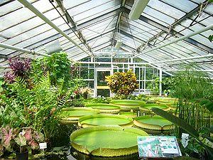 Botanical garden - Braunschweig Botanical Garden, Braunschweig, Germany Victoria amazonica, giant Amazon water lily