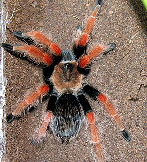 Description de l'image Brachypelma sp., 2006-12-02.jpg.