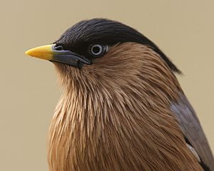 Brahminy starling - Head showing the elongated neck feathers