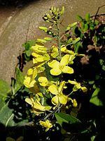 цветови дивљег купуса