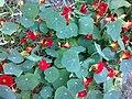 Brassicales - Tropaeolum majus 2.jpg