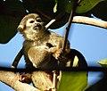 Brazilian Squirrel monkey- Bonnet House, Fort Lauderdale, Florida (4233832866).jpg
