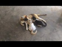 പ്രമാണം:Breast feeding cat.ogv