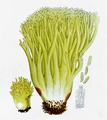 Bresadola - Clavaria flava.png