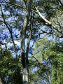 Bromélias na árvore.jpg