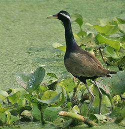 Bronze-winged Jacana (Metopidius indicus) in AP W IMG 3489.jpg