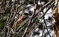 Brown-crested flycatcher - Flickr - GregTheBusker (2).jpg