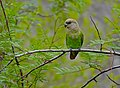 Brown-headed Parrot (Poicephalus cryptoxanthus) (11688869593) (2).jpg