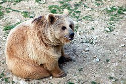 Brown bear - Montpellier zoo.jpg