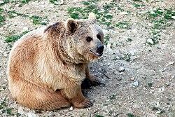 Ursus arctos syriacus, Parc zoologique de Lunaret