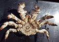 Brown box crab (Lopholithodes foraminatus) ventral 2.jpg