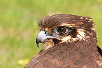Brown falcon1444.jpg