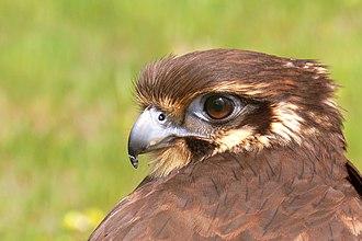 Brown falcon - Image: Brown falcon 1444