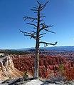Bryce Canyon arbre du Parc national.jpg