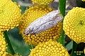 Bryotropha sp.? (NH) (8070078668).jpg
