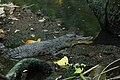 Buaya Muara (Crocodylus porosus).jpg