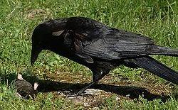 Buberel blackbird over prey.jpg