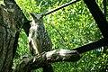 Bubo blakistoni -Kushiro Zoo -Japan-8a.jpg