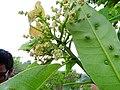 Buchanania axillaris (Cuddapah Almond) 03.jpg