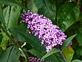 Buddleja davidii with bee.jpg