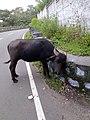 Buffalo-3-yercaud-salem-India.jpg