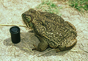 Description de l'image Bufo paracnemis02.jpg.