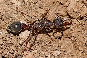 Myrmecia (ant) - Bull ant queen in Swifts Creek, Victoria
