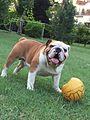 BulldogPlaying.jpeg