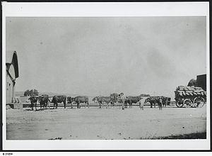 Bullocky - A bullock team at Farrell Flat, South Australia in 1911.