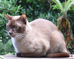 Burmese cat - Chocolate British/European adult male