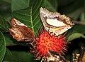 Butterflies in a Rambutan tree @ Kanjirappally 02.jpg