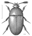COLE Leiodidae Colon hirtale f.png