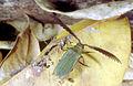 CSIRO ScienceImage 253 Rhipidocerus australasiae.jpg